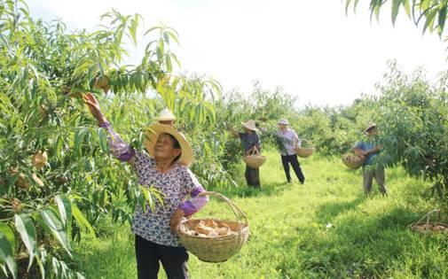 八熊村村民喜摘黄金桃