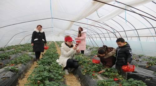 游客在梅山村国华采摘园采摘草莓