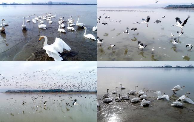 雪后初霁冰覆湖 鸥鹭翩跹芭蕾舞