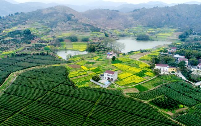 航拍:万亩岗地披绿装 春来农民采茶忙