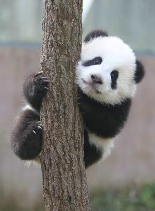 大熊猫宝宝爬树萌照