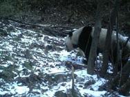 皇冠山首次拍到野生大熊貓