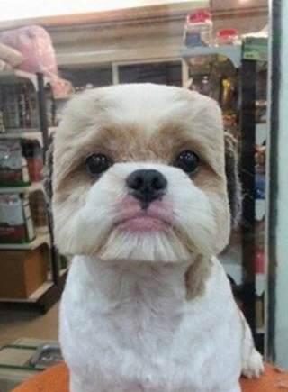 方脸,圆脸引领宠物狗发型新潮流图片