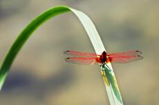 蜻蜓玉立在葉間
