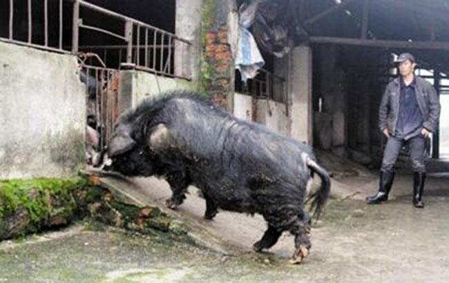 """芜湖最牛""""公猪""""13年繁殖后代18810头"""