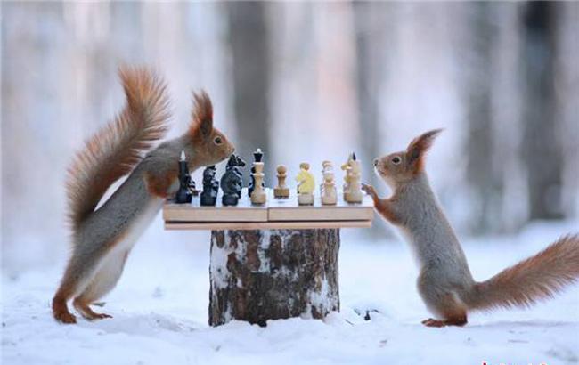 爆萌松鼠雪中下棋場面逗趣