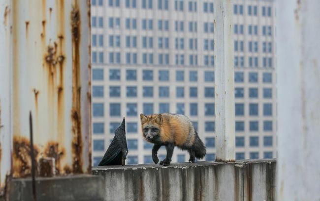 杭州/杭州一居民楼现狐狸用美食诱捕两次被抓住