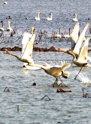 愉快的鄱陽湖觀鳥之旅