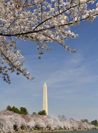 華盛頓櫻花綻放