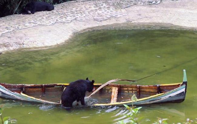 重慶一野生動物園黑熊湖中劃船 有模有樣
