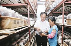 滁州:致富帶頭人種茶樹菇帶領鄉鄰致富
