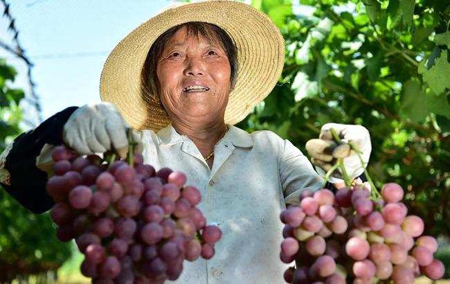 """安徽:""""紅提經濟""""富農家"""