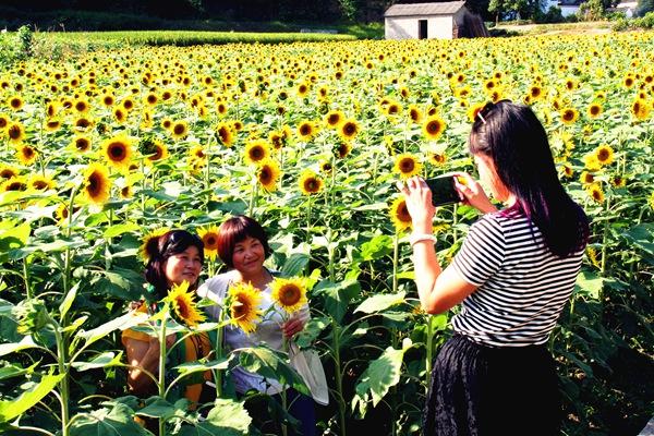 黄山:朵朵葵花 笑脸迎客