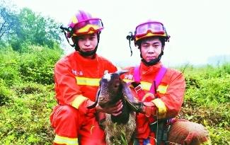 羊羔失足落井底 消防员成功施救