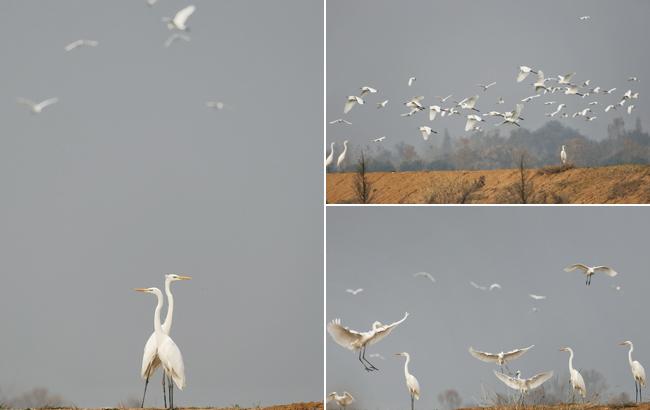 巢湖湿地生态美 引来白鹭翩翩飞