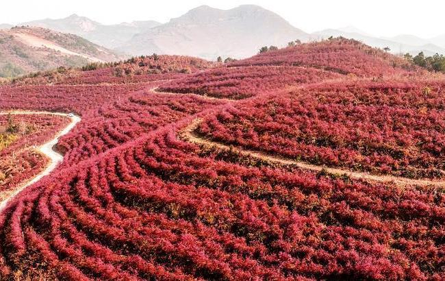 安徽廬江:藍莓入冬時 紅葉滿山坡