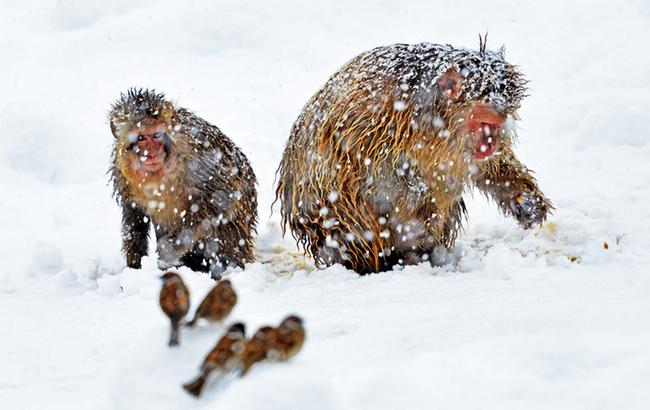 """""""雪猴""""開心迎大雪"""