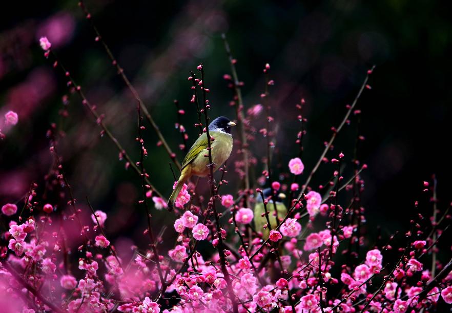 三月皖南春來早 鳥飛枝頭戲紅梅