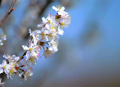 陌上花開春意美 櫻花爛漫幾多時