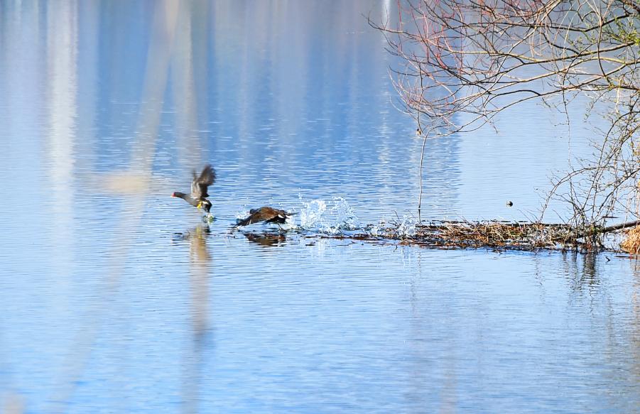 黑水雞湖面嬉戲