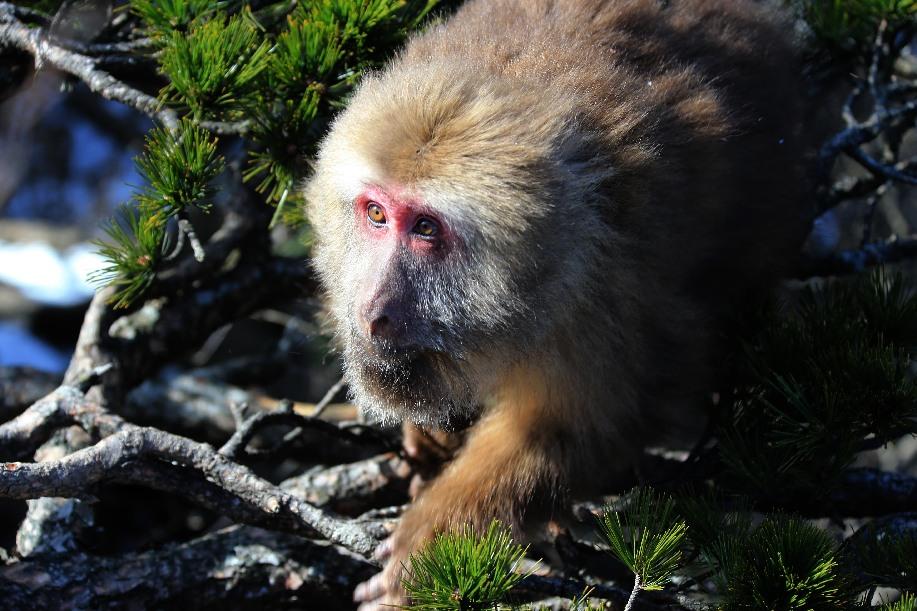 黃山短尾猴沐浴雪後暖陽