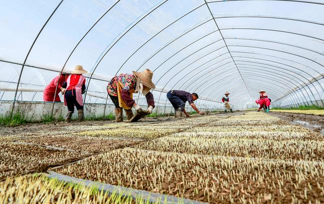 安徽廬江:綠色水稻工廠化育秧