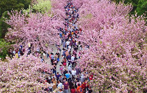 走进中科大 全景赏樱花