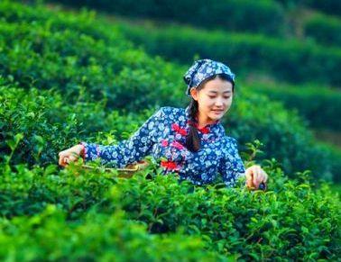 采茶游悄然流行,如何精挑细选有讲究!