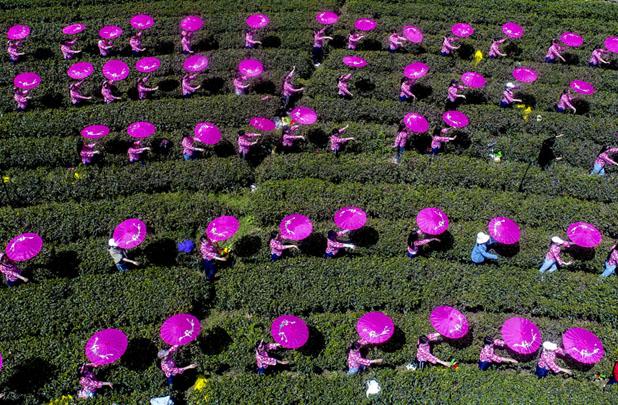 安徽舒城:千人同唱採茶歌