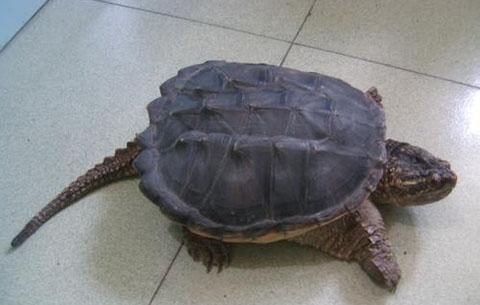 路边又有人售卖鳄龟 当心
