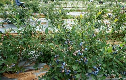 藍莓熟了 第二屆懷寧國際藍莓文化旅遊節等著你來