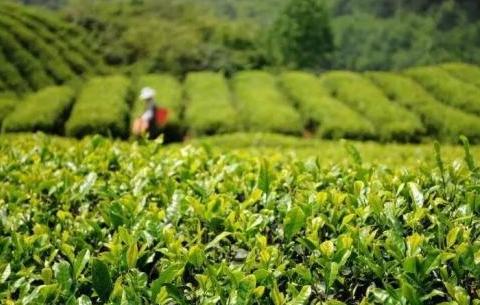 安徽省茶産業聯盟揭牌成立 將建立聯盟專家智庫
