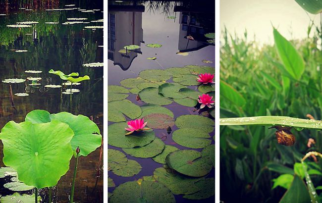 初夏时节雨潺潺 风荷柳绿意阑珊