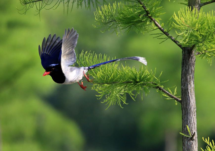 珍稀红嘴长尾喜鹊现身安徽黄山