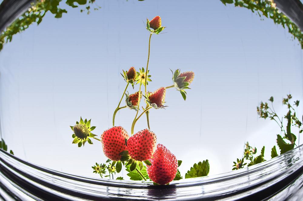 長(chang)豐草莓