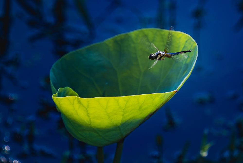 荷韵影婆娑 蜻蜓立菡萏