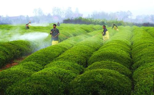 茶叶农残超标 安徽下架召回4批次不合格食品