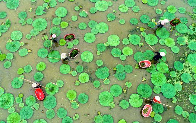 航拍:平鋪新綠水蘋生 水鄉結出致富果