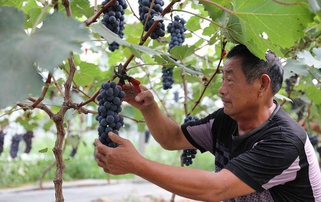 安徽滁州:扶貧葡萄喜豐收