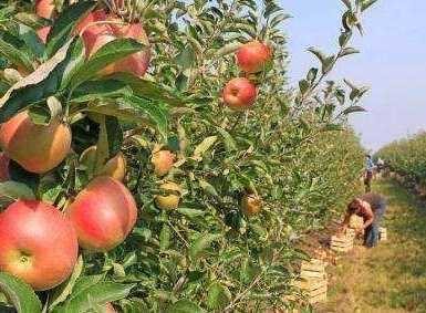 安徽省計劃建20個省級標準果園