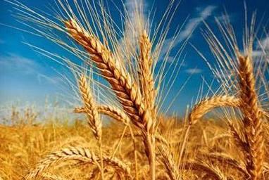 安徽省夏糧總産321.5億斤 居全國第三位