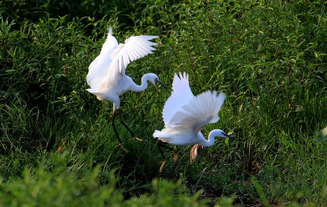 新安江畔濕地美 白鷺翩翩享清涼