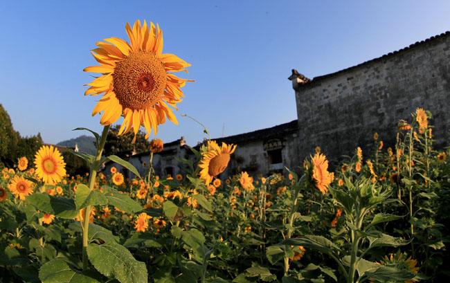 八月葵花次第開 朵朵含笑映古村