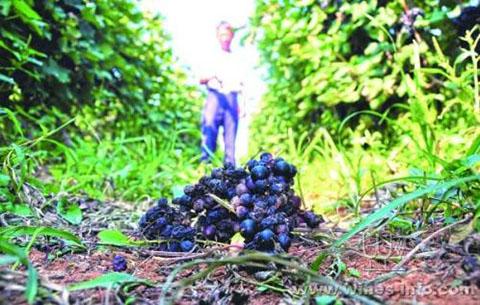 葡萄滯銷 志願者助力解燃眉之急