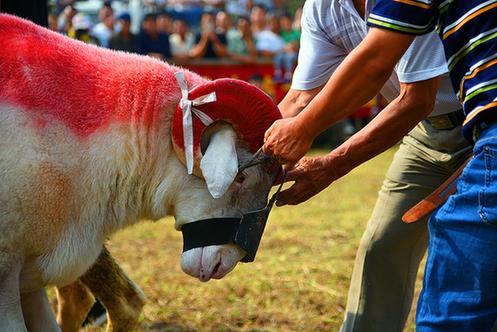 """安徽砀山:""""斗羊""""大赛庆丰收"""