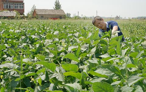 """我国唯一累计推广面积上亿亩的大豆品种""""中黄13""""丰收在望"""