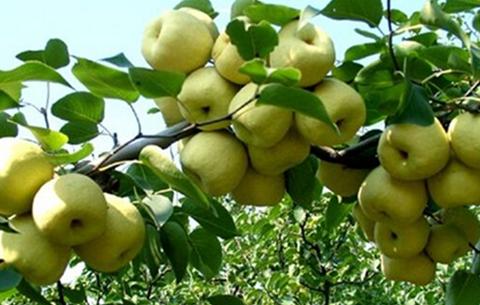 中秋将至 砀山40万亩酥梨喜获丰收