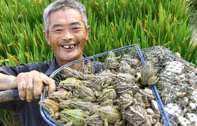 安徽六安:稻蛙共養富農家