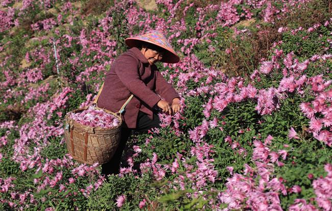 徽州紫菊漫山開 雖是秋來春意濃