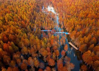 安徽寧國:紅杉林染秋色